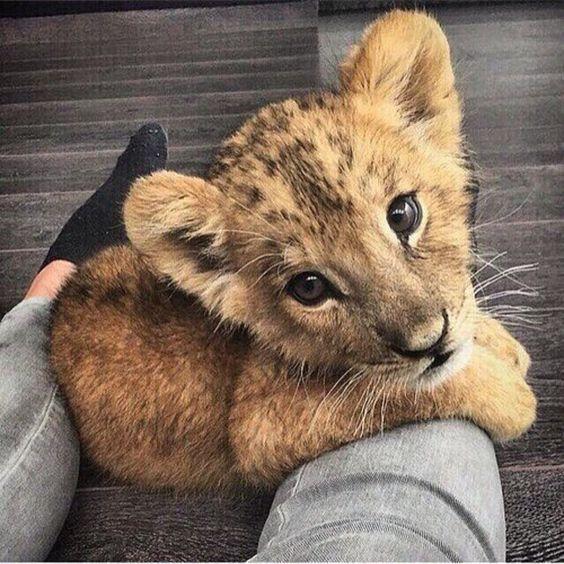 # #Adorable # #lion #cub