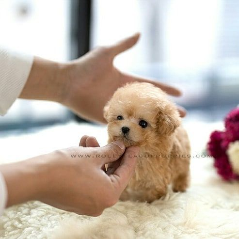 Ginger Teacup Poodle Female Is Here Rollyteacuppuppies Golden Cream Coat With Adorable Teddy Bea Teddy Bear Puppies Teacup Puppies Cute Fluffy Dogs