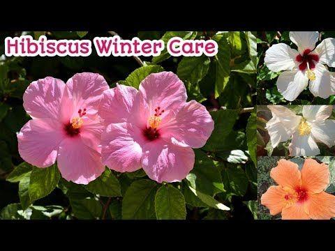 Hibiscus Winter Care Hibisicus Ki Winter Me Care Kaise Kare
