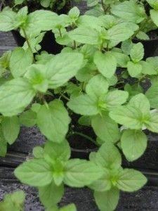 Rezept: Tee mit Schokominze (Mentha × piperita var. piperita)