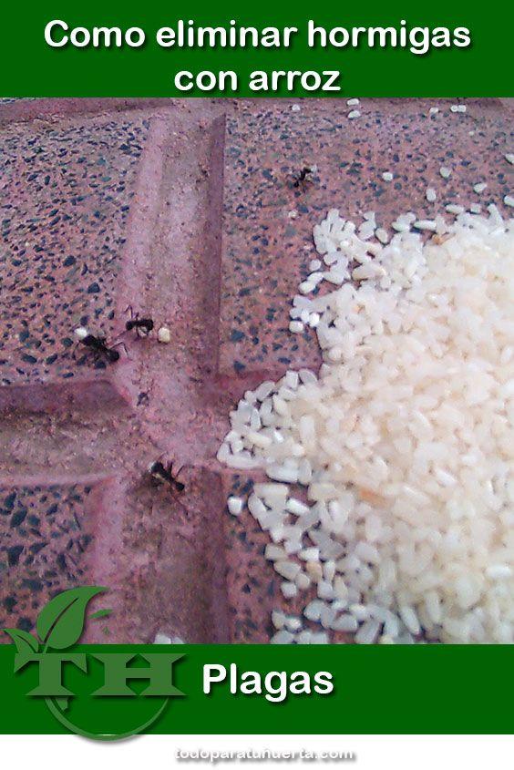 En este articulo veremos como eliminar hormigas con arroz. Una de nuestras peores amenazas en el huerto son las hormigas cortadoras.