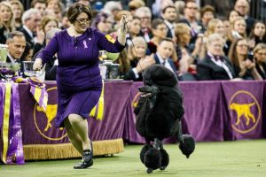 Standard poodle triumphs at the Westminster Kennel Club