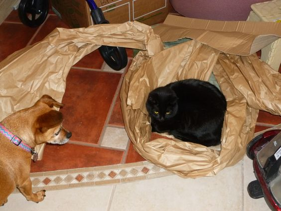 Misty tucked in packing paper,Chance is amused.