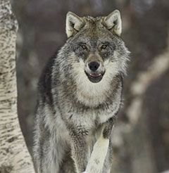 all the better to eat you with.......wolf