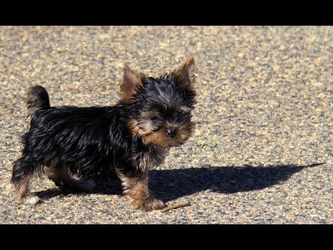 Teacup Yorkie Puppies For Sale 3 4 5 Lbs Adults Youtube