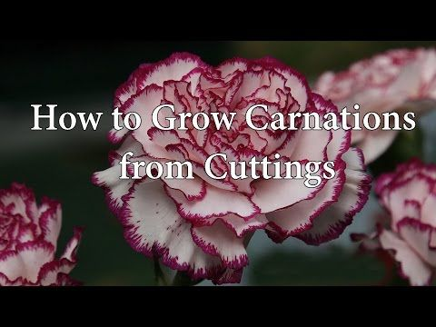 Gardening Project Rooting Carnations Youtube Growing Carnations Carnations Carnation Flower
