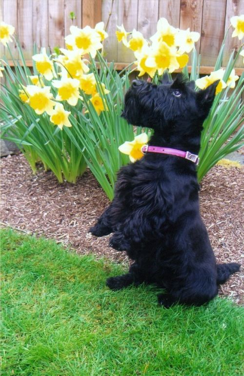 scottie dog and daffodils...I would be in heaven. As a little girl I loved Scotties but then they kind of disappeared like poodles have done in recent years with all the crosses.