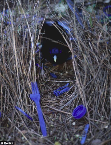 Nid d 39 oiseau jardinier satin nids d 39 oiseau for L oiseau jardinier