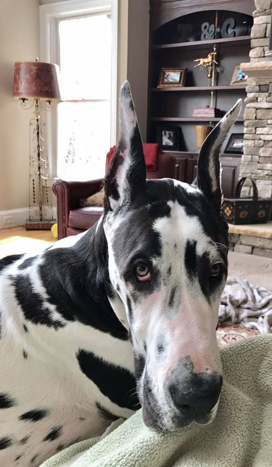 Otis The Harlequin Great Dane 6 Months Old 103 Lbs And Lover
