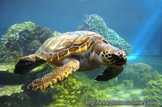 sea turtles | sea turtle - photo/picture definition - sea turtle word and phrase ...