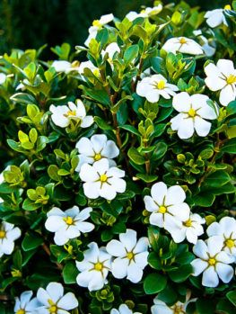 August Beauty Gardenia Flowering Shrubs Plants Plant Sale