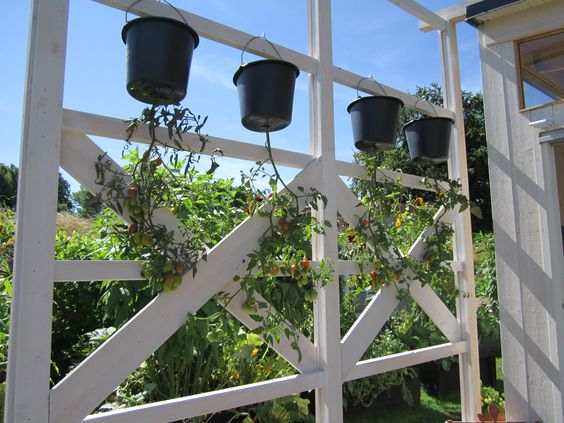 Hanging tomato planters.  A month ago the top had petunias growing from these. Gorgeous.