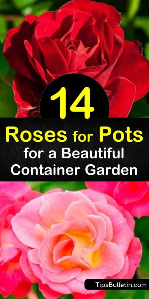 14 Roses For Pots For A Beautiful Container Garden Container Roses Container Gardening Tea Rose Garden