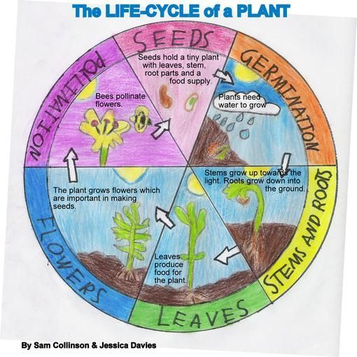 12 Color Your Own! Plant Life Cycle Wheel | L i f e i n 3 rd ...
