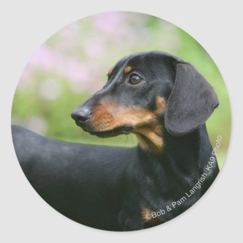 Black And Tan Miniture Dachshund 2 Classic Round Sticker Zazzle Com In 2020 Dapple Dachshund Miniature Dachshund Puppy Black Dapple Dachshund
