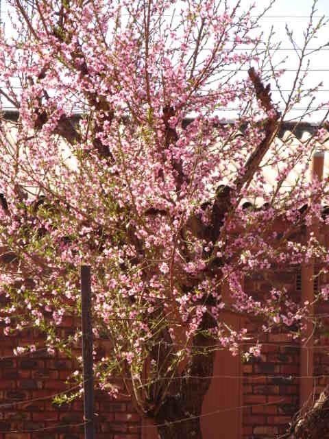 my neighbours peach tree in bloom