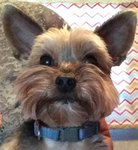 Bear TEACUP YORKIE is an adoptable Yorkshire Terrier Yorkie searching for a…