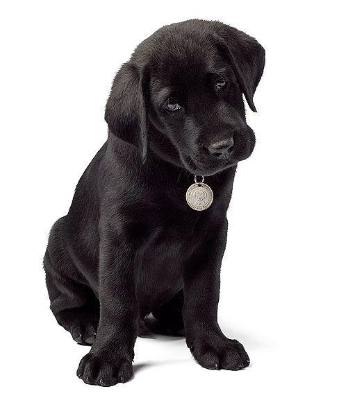 Justin The Cutest Black Lab You May Ever See Slightly Altered Labrador Retriever Labrador Retriever Dog Black Lab Puppies