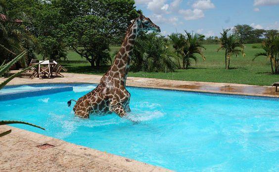 Filhote de girafa cai na piscina de clube na Tanzânia
