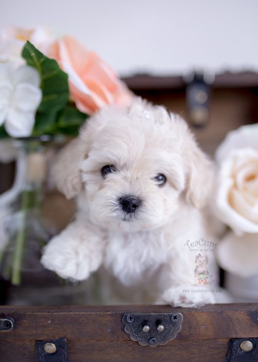 Cream Maltipoo Puppy For Sale Teacup Puppies Boutique 302 In 2020 Teacup Puppies For Sale Puppies For Sale Teacup Puppies
