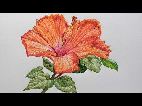 Hibiscus Flower Drawing In Color Pencils Flower Drawing Youtube In 2020 Flower Drawing Hibiscus Flower Drawing Colored Pencils