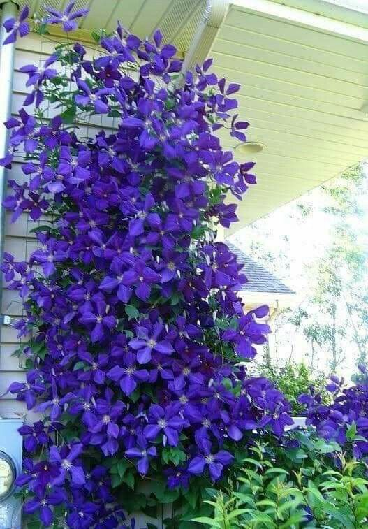 How To Grow Clematis In Containers Flowersandflowerthings Clematis Plants Climbing Clematis Clematis Flower
