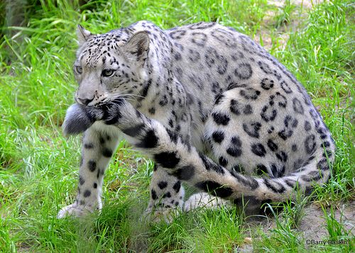 Snow Leopards Nomming On Their Own Tails Imgur Snow Leopard Wild Cats Animals Beautiful