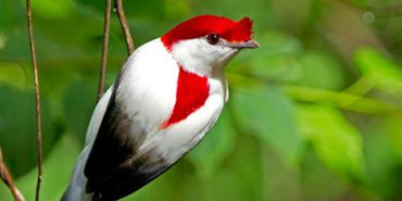 Petition: Save the Araripe Manakin - Care2 News Network