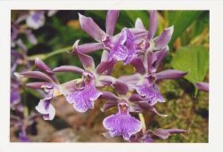 einzigartige-Blumen-Fotopostkarte-lila-Orchidee