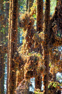 El Rasario Monarch butterflies Morelia Mexico living aboard blog