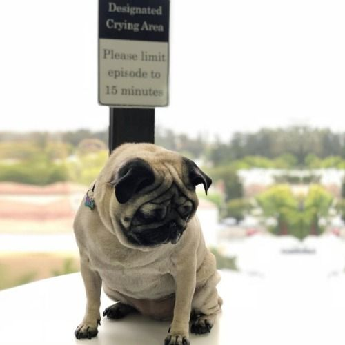 Found An Area To Cry About My Summer Body Pug