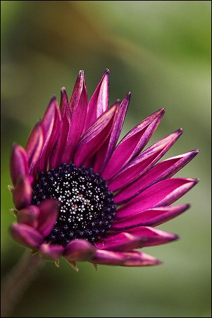 ~~Late Blossom ~ Cape Daisy (Osteospermum) by AnyMotion~~