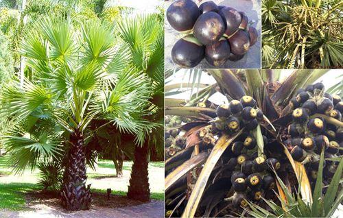 Thốt nốt - loài cây biểu tượng cho văn hóa Campuchia