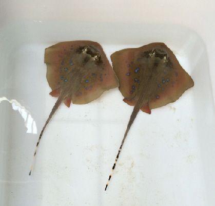 Naissances : 2 nouvelles petites raies pastenagues à points bleus à Océanopolis - Zoonaute.net