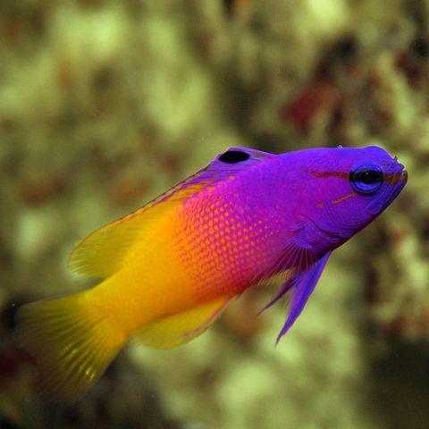 Royal Gramma Basslet Gramma Loreto Saltwater Aquarium Fish Marine Fish Fish