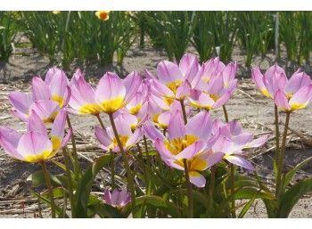 Tulipa Lilac Wonder - BIO