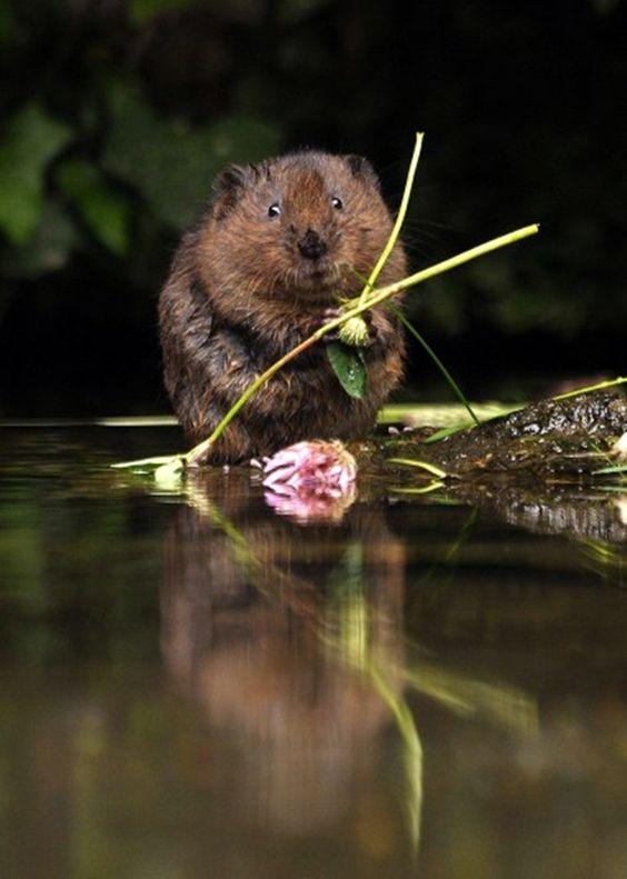 water vole in East Malling, Kent