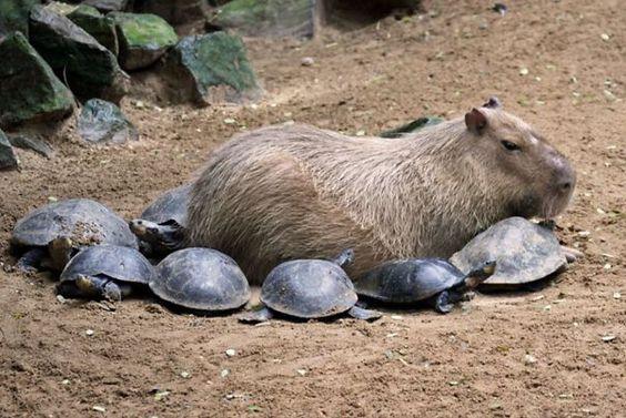 capivara com outros animais (29)