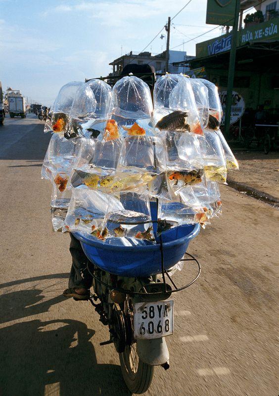 Lasträder in Vietnam: Schweine und Goldfische fahren Moped