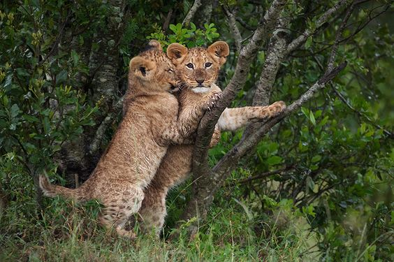 creatures-alive:  Lion Cubs Playing by seancrane