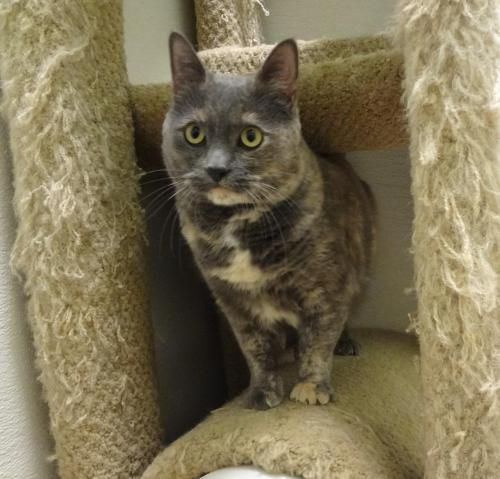 Shadow is an adoptable Dilute Tortoiseshell Cat in Pekin, IL Hi there, Shadow here! Hmmm, what to tell you about myself...first of all I am about 3 ye ... ...Read more about me on @Petfinder.com.com