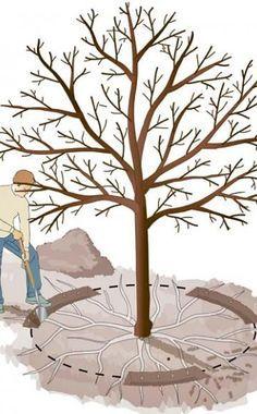 Wurzel-Kur: Neue Blüte für alte Obstbäume -  Nicht nur ein Rückschnitt der Krone steigert die Erträge und Fruchtqualität alter Obstbäume. Auch das Stutzen der Wurzeln kann Wunder wirken.