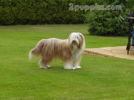 American Staffordshire Terrier Bearded Collie Dog Breeds Dog