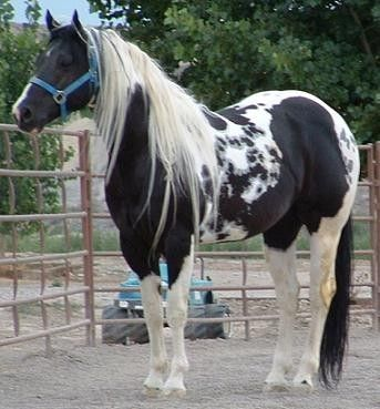 """Pinto: Tobiano. Tobiano with """"cat tracks"""" or """"ink spots"""", often thought to be an indicator of homozygosity."""