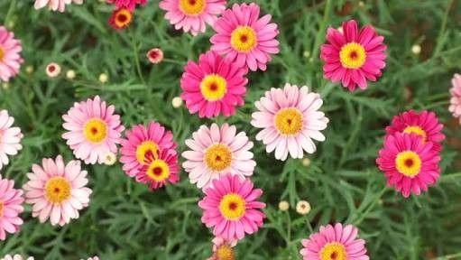 Marguerite Daisy Or Paris Daisy Crocus Flower Flowering Trees Giant Flowers