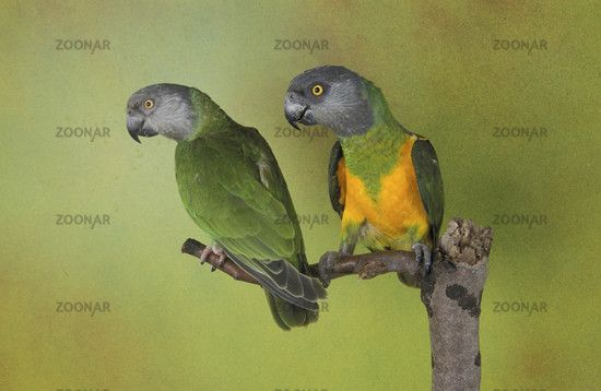 Mohrenkopfpapagei, perroquet youyou, poicephalus senegalus, senegal parrot, loro de senegal, langfluegelpapageien, poicephalus, aras, parrots