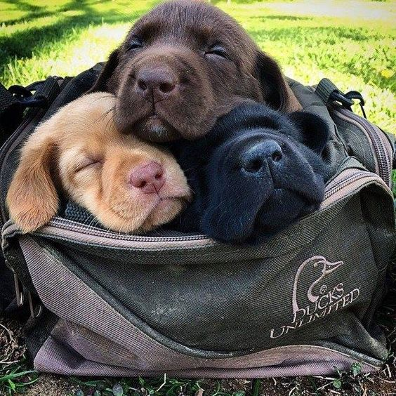 Three Labrador Retriever puppies.