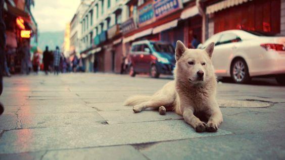 Cute Tibetan Dog Don't Care http://ift.tt/2cLYr7P