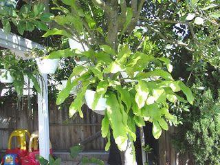 Terra Nostra: Epiphyllum oxypetalum