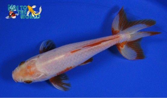 jikin goldfish for sale online